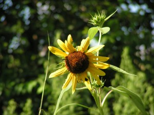 This is one of the yellow sunflowers.
