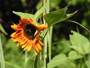 Here is the bronze sunflower.