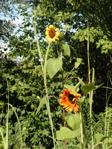 This picture shows how tall the sunflowers are -- 5 to 6 feet.