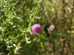 This shows the underside of the male black swallowtail.