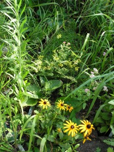 This center view of the wildflower garden shows moonbeam coreopsis, yarrow, and black-eyed susan.