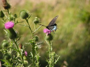 This is a female black swallowtail.