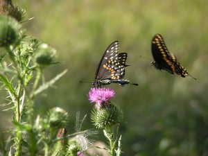 Here is a pair of swallowtails courting.