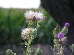 The first of the thistles have gone to seed.