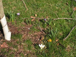 This is a wide view of crocus under the contorta willow.