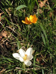 These white and yellow crocus are blooming under the contorta willow.