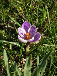 This striped crocus is blooming under the contorta willow.