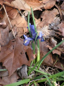This miniature iris is blooming near the driveway.