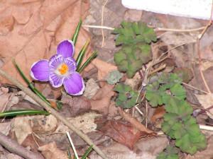 A purple crocus blooms beside columbine leaves in the Rain Garden.