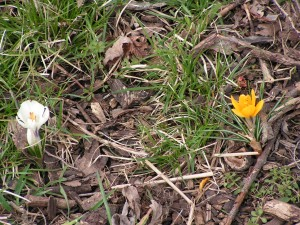 Crocus flowers bloom near the maple at the edge of the south lot.