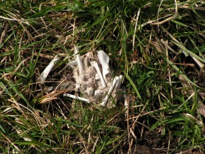 This owl pellet is still pretty close together.