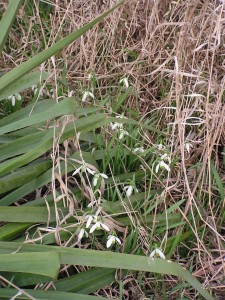 Snowbells are blooming in the White Garden.