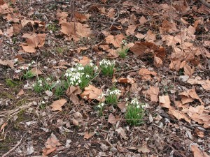 Snowdrops are growing wild in the savanna.