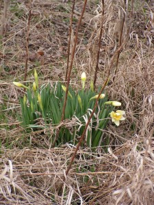 Only a few daffodils are growing in the prairie garden.