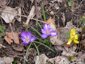 Crocus and winter aconite are blooming in the Goddess Garden.