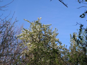 The pear tree is blooming.