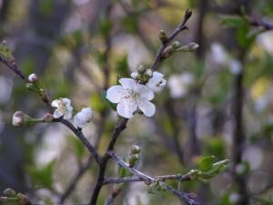 Pie cherries are blooming.