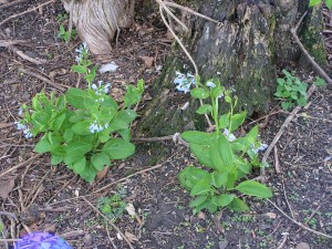 Bluebells are blooming in the forest garden.