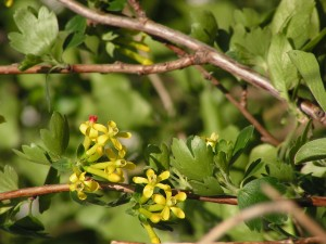 The gold currants are blooming near the road.