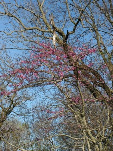 The large redbud tree in the savanna is blooming.