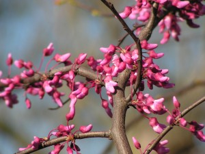 The small redbud tree in the savanna is blooming.