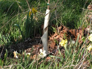 These daffodils are blooming around the tricolor beech tree.
