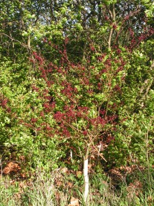 The Japanese maple in the savanna is leafing out.