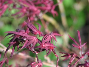 Here is a closeup of the Japanese maple.