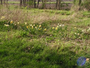 These daffodils are blooming in the prairie garden.