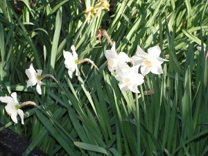 These daffodils are blooming by the parking lot.