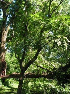 This is a view of the goldenraintree with the fallen walnut.