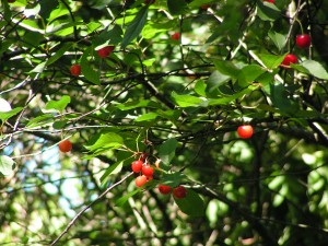Pie Cherries are ripe in the orchard.