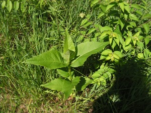 This is a young compass plant.