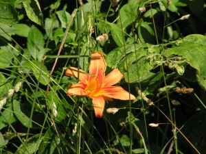 The first daylily is blooming.