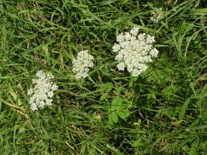 Queen Anne's lace is blooming in the yard.