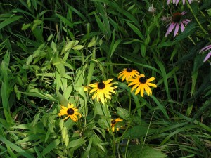 Black-eyed Susans are blooming in the wildflower garden.