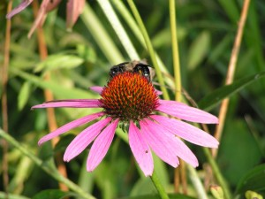 Two bees are on the echinacea.