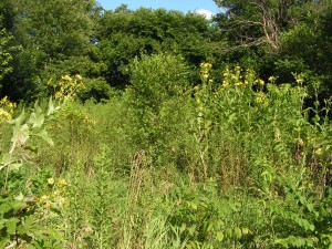 Here is a long view of prairie garden.