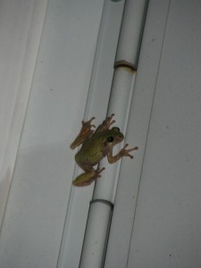 This green tree frog is clinging to the door frame, high up near the porch light.