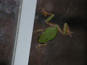 This is the green tree frog clinging to the glass.