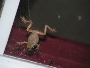 This is the gray tree frog clinging to the glass.