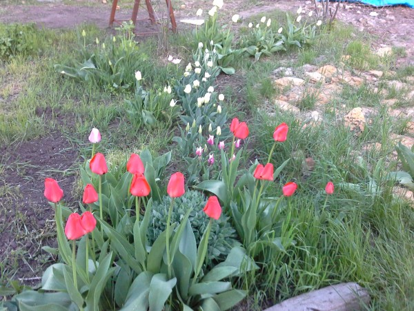 Тюльпаны6.jpg