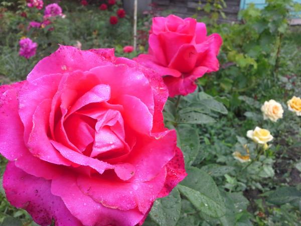 Вин роуз.jpg