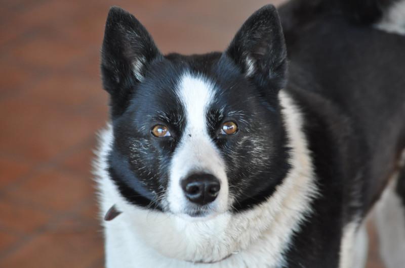 Это моя собака Ласка.