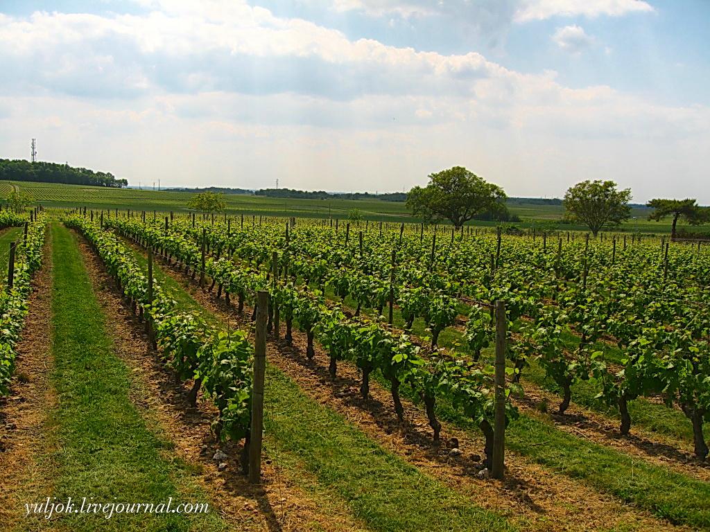 IMG_398 Он весь в окружении виноградников