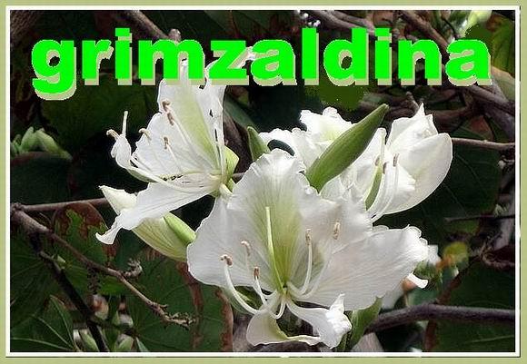 Гримзальдина1