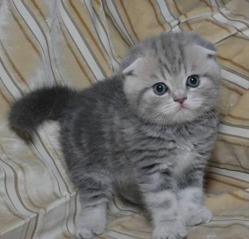 вислоухие котята серые фото