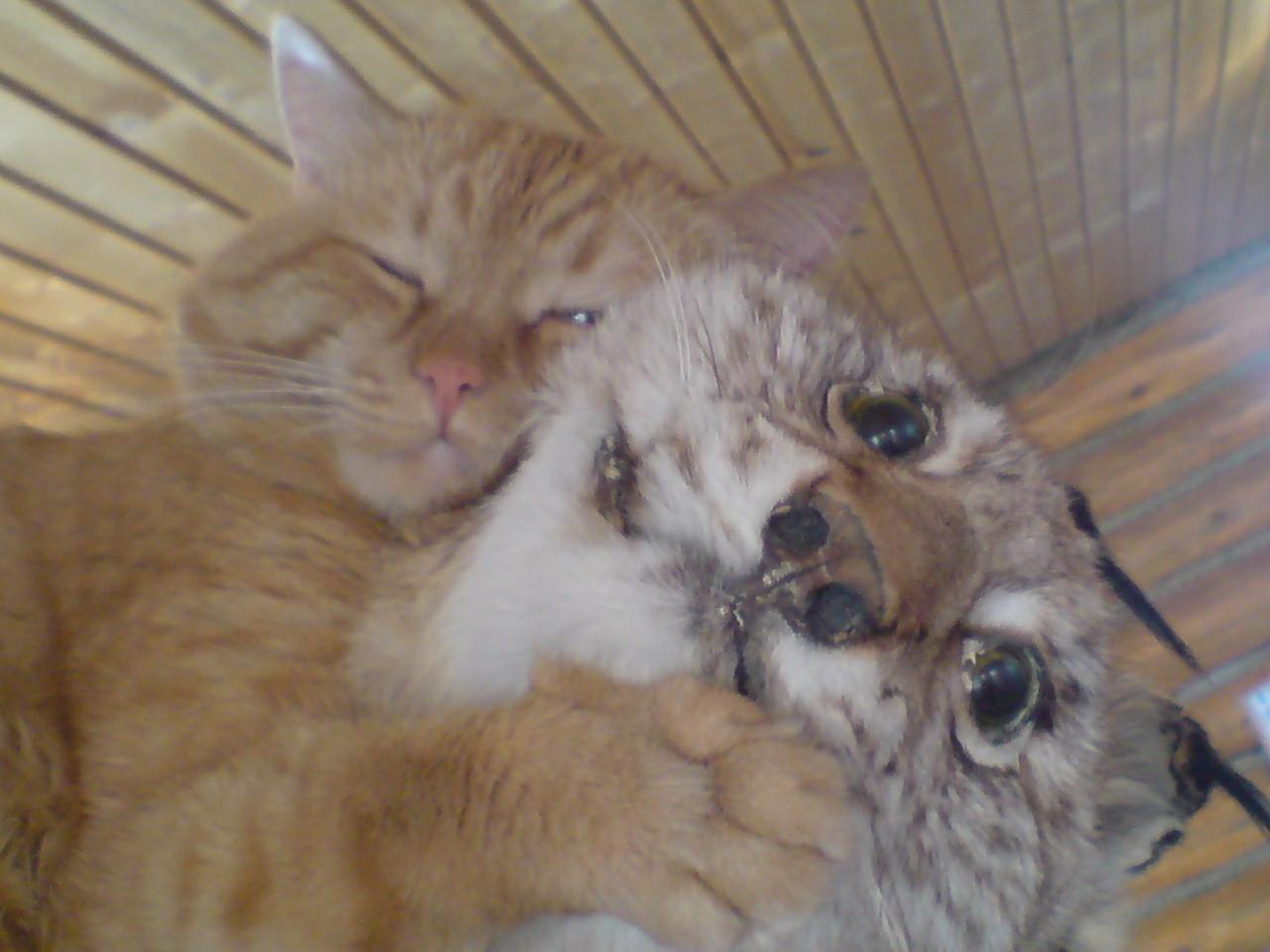 Кот в Абзаково