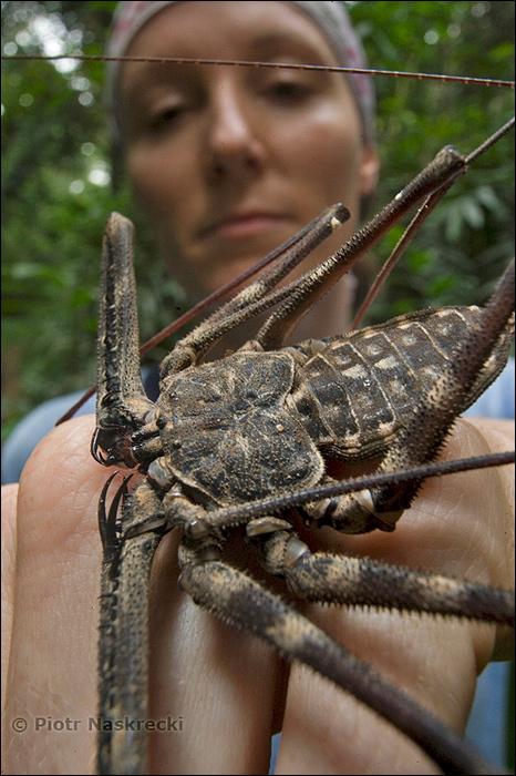 Несмотря на устрашающий вид, это безобидные для людей существа. (Википедия о Фрине) 4d6a2edd60465