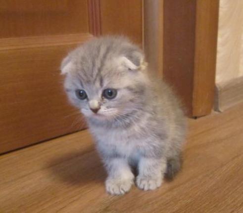 удалось спастись, фото котят шотландских веслоухих диск намочить оливковом